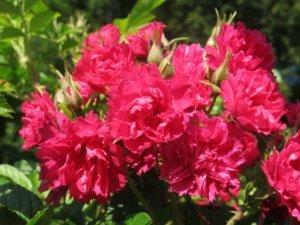 Rožė (Rosa) 'F. J. Grootendorst'