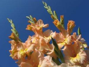 Kardelis (Gladiolus)
