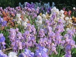 Vilkdalgiai (Iris)