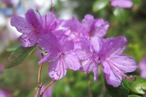 Rododendras (Rhododendron)