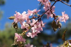 Sakura (Prunus serrulata)