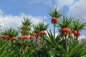 Margutė (Fritillaria)