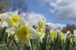 Narcizai (Narcissus)