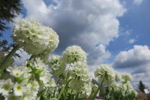 Raktažolė (Primula)