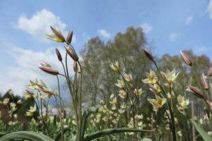 Tulpė (Tulipa)