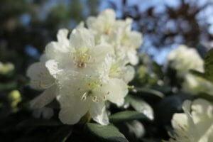 Rododendras (Rhododendron aureum)