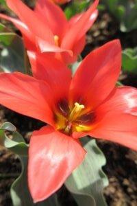 Greigo tulpė (Tulipa greigii) 'Toronto'