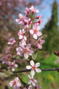 Paprastoji ieva (Prunus padus) 'Colorata'