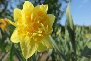 Narcizas (Narcissus)