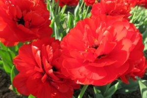 Tulpė (Tulipa) 'Miranda'