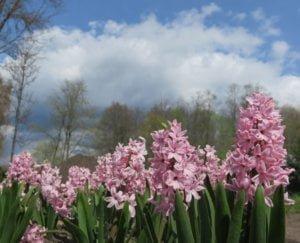 Hiacinatai (Hyacinthus)