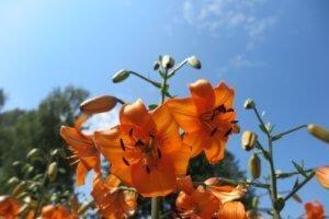 Lelija (Lilium)