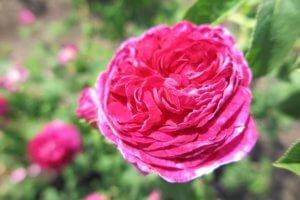 Rožė (Rosa)
