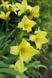 Viendienės (Hemerocallis)