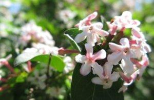 Vytmenys (Abelia mosanensis)